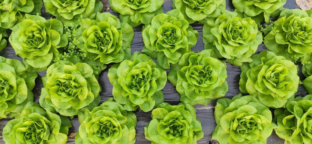 Lettuce Plant Growth