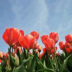 Tulips Vitabeam