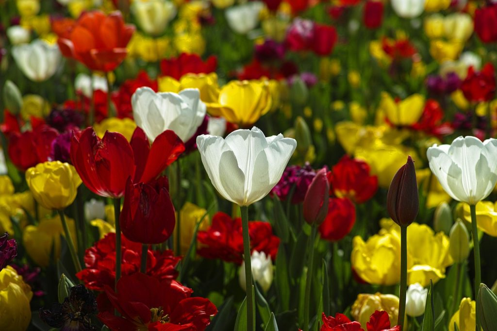 tulips, flowers, colorful