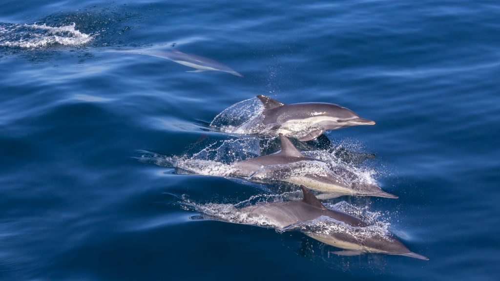 Pod of Dolphins. Without healthy fish stocks, Dolphin populations will struggle, altering the ecosystems they are a part of. On World Ocean's Day, we focus on what we can do to help keep our oceans, and all the life within them, healthy.